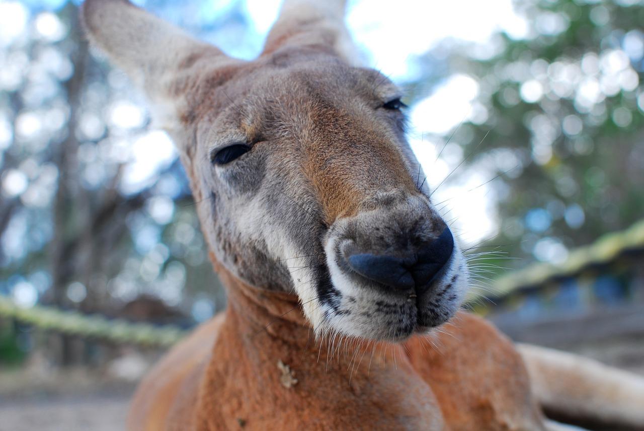 kangaroo-1209951_1280
